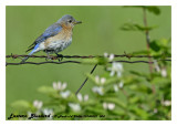 20140531 004 SERIES -  Eastern Bluebird.jpg