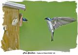 20140530 486 SERIES - Tree Swallows.jpg