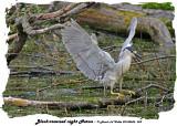 20140606 059 SERIES - Black-crowned night Heron.jpg