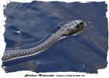 20140604 352 SERIES -  Northern Watersnake.jpg