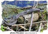 20140604 187 SERIES - Northern Water Snakes.jpg