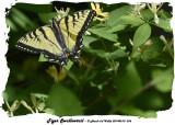 20140610 076 Tiger Swallowtail 2.jpg