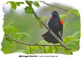 20140528 023 Red-winged blackbird.jpg
