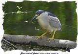 20140604 155 Black-crowned Heron.jpg