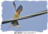20140623 152 Barn Swallow.jpg