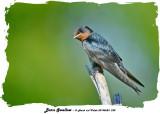 20140623 238 Barn Swallow.jpg