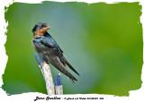 20140623 206 Barn Swallow.jpg