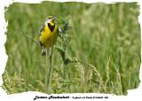 20140620 050 SERIES - Eastern Meadowlark.jpg
