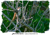 20140619 353 Black-billed Cuckoo.jpg
