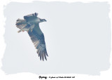 20140630 047 Osprey 4.jpg