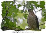20140703 - 1 227 Cooper's Hawk.jpg