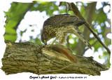 20140704 011 SERIES -  Cooper's Hawk (juv).jpg