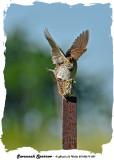 20140619 087 Savannah Sparrows.jpg