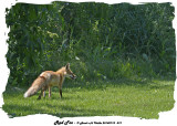 20140710 419 Red Fox.jpg