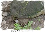 20140611 055  SERIES - Snapping Turtle.jpg