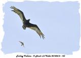 20140616 133 Turkey Vulture and Kingbird.jpg