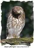 20140708 228 Cooper's Hawk (juv).jpg