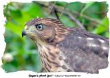 20140708 264 Cooper's Hawk (juv).jpg