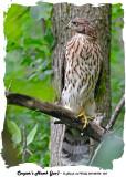 20140708 327 Cooper's Hawk (juv) 1r1.jpg