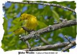 20140526 001 Yellow Warbler.jpg