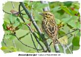 20140623 344 Savannah Sparrow (juv).jpg