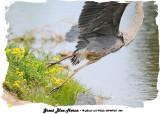 20140725 666 SERIES -  Great Blue Heron.jpg
