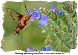 20140802 038 SERIES -  Clearwing Hummingbird Moth.jpg
