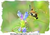 20140802 028 Clearwing Hummingbird Moth.jpg