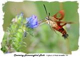 20140803 179 Clearwing Hummingbird Moth.jpg