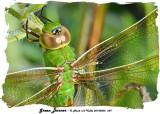 20140806 059 SERIES - Green Darner2.jpg
