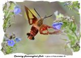 20140803 297 SERIES -  Clearwing Hummingbird Moth.jpg