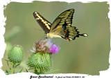 20140807 - 2 451 Giant Swallowtail.jpg