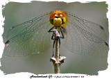 20140807 - 1 253 Meadowhawk (f) 2.jpg