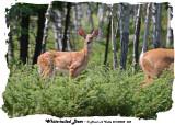 20140808 485 White-tailed Deer.jpg
