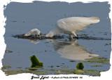 20140808 162  SERIES - Great Egret and Longnose Gar.jpg