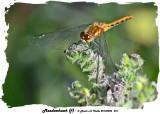 20140806 261 SERIES -  Meadowhawk (f).jpg