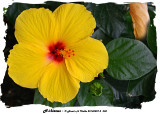 20140807 - 2 050 Hibiscus 1r1r1.jpg
