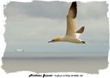20140823 053 SERIES - Northern Gannet.jpg