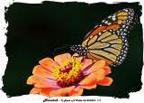 20140904-2 171 Monarch.jpg
