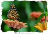 20140904-2 229 Monarch.jpg