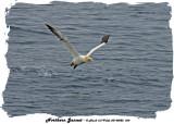 20140822 664 Northern Gannet.jpg