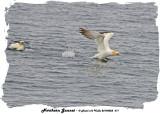 20140822 671 SERIES -  Northern Gannet.jpg