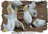 20140822 1195 Northern Gannets.jpg