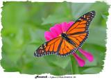 20140910-2 299 Monarch.jpg