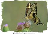 20140807 - 2 432 Giant Swallowtail.jpg