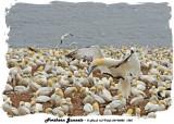 20140822 1325 Northern Gannets.jpg