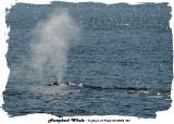 20140822 026 SERIES - Humpback Whale.jpg