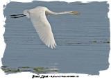 20140808 232 Great Egret.jpg