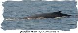 20140822 168 SERIES - Humpback Whale  xxx.jpg
