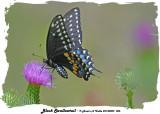 20140809 006 Black Swallowtail.jpg